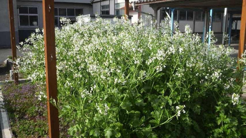 12.4.17大根の花①.JPG