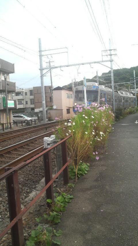 14.11.7コスモスと静鉄.jpg