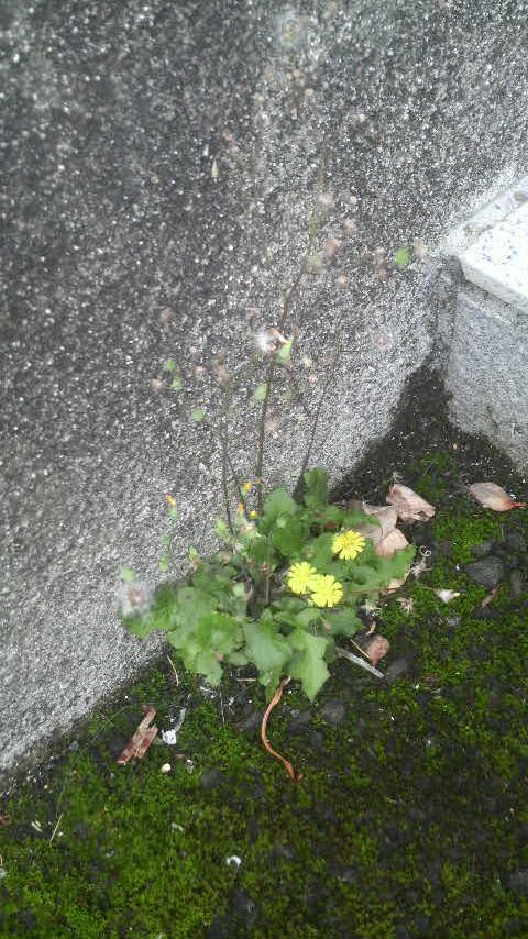 14.6.23市教組会館に咲く花・綿毛が.jpg