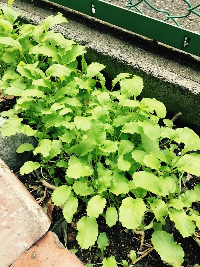 15.12.15菜の花.jpg