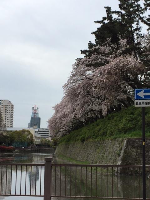 16.4.8駿府城公園 大雨の翌日の桜.jpg