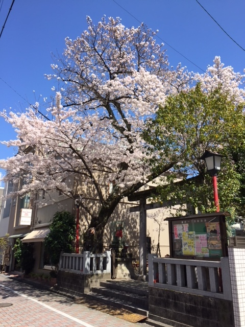18.3.25一加番の桜.JPG
