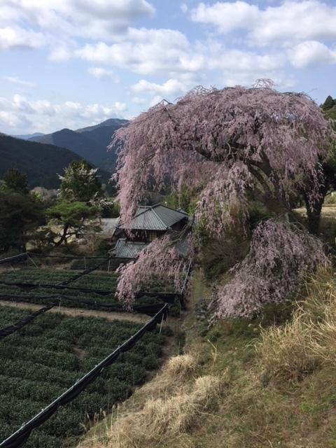 18.3.31栃沢・米沢家の桜.JPG