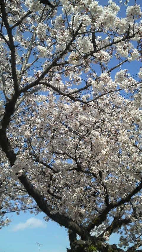 12.4.8桜の花.JPG